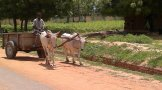 Are these cows being used as beasts of burden happy? Would I rather it be children carrying the farm load?!